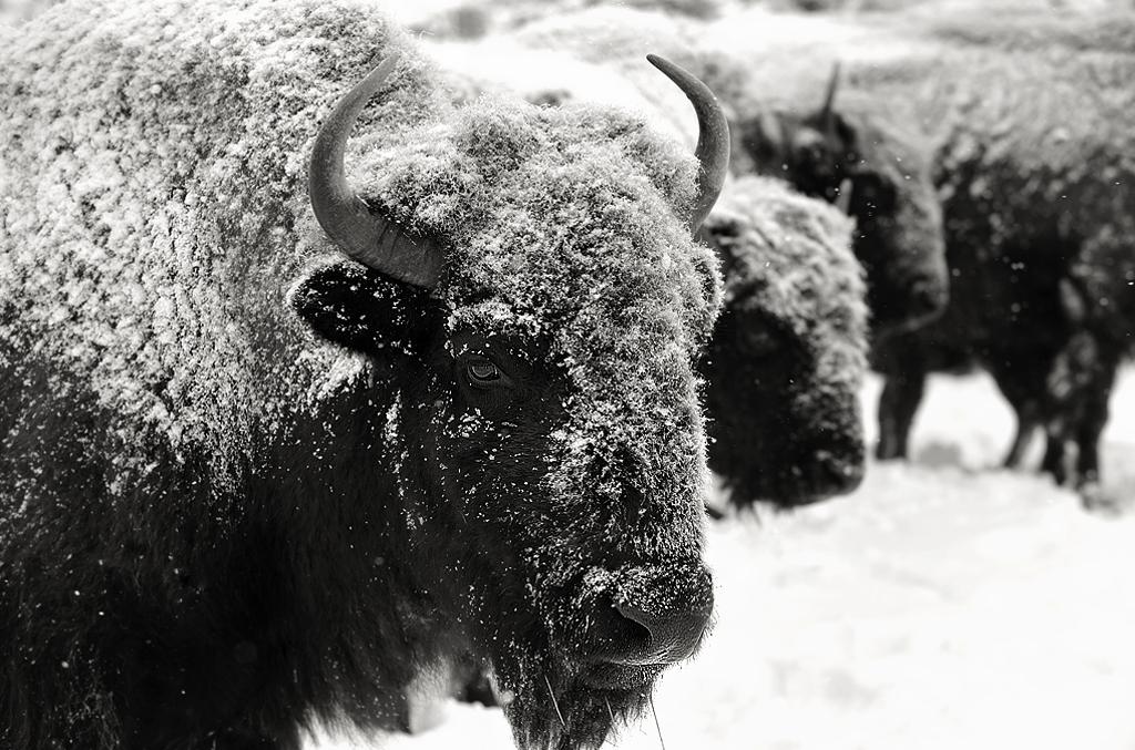 buffalo15_bw