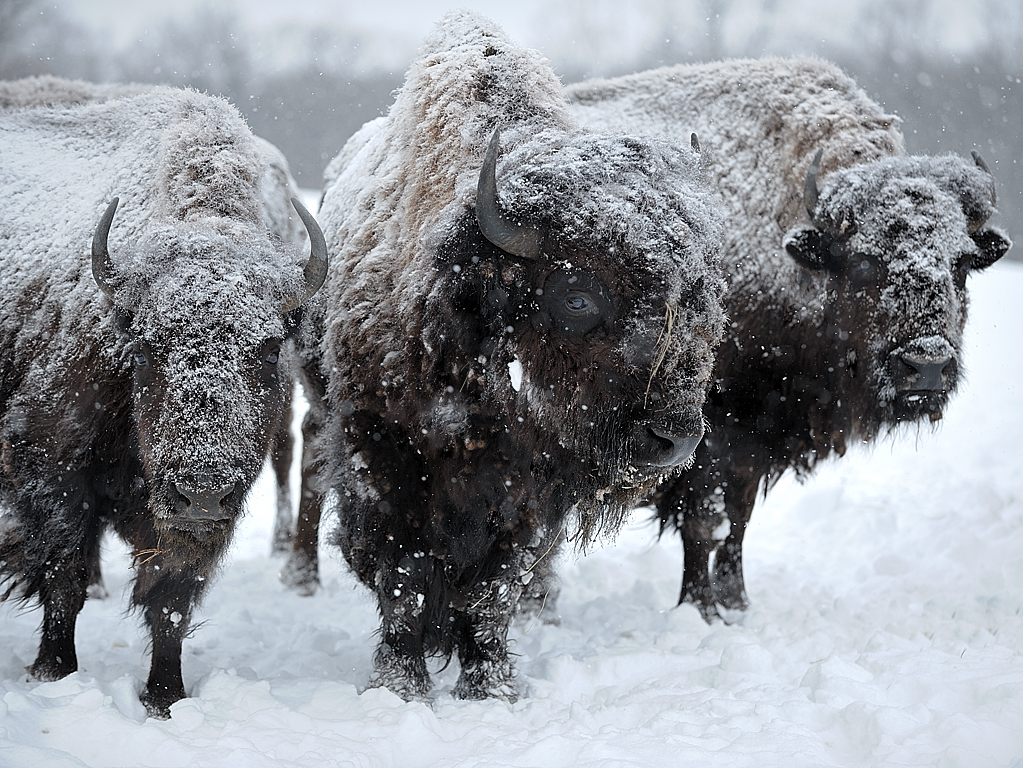 buffalo23