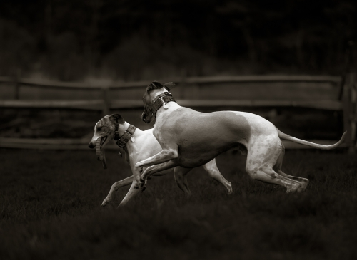 Whippets playing
