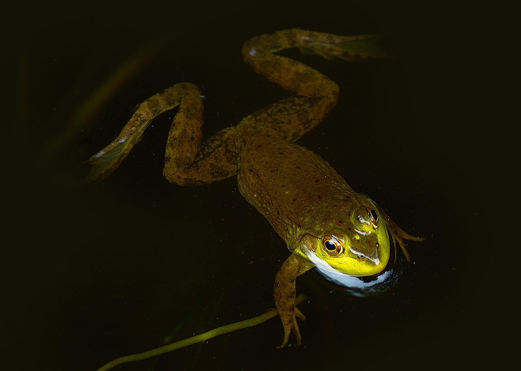 froggy_sdim4427