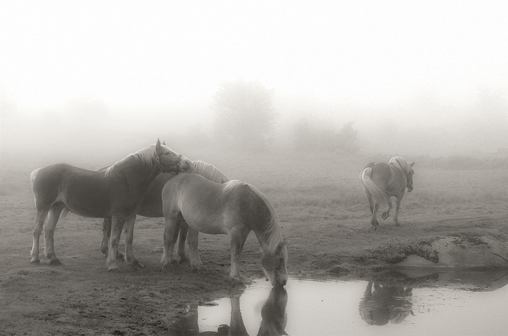 horses_in_the_fog