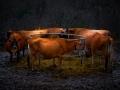 lazlogyorsok_cows
