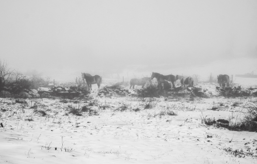 Horses in dense fog