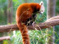 Red panda munching on bamboo